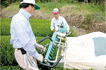 富士園:茶摘み